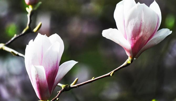 magnolie w Szczecinie